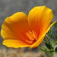 Квіти ешшольція