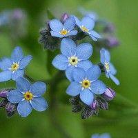 Квіти незабудки
