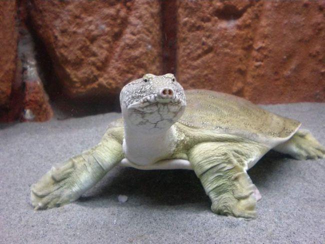 Далекосхідна черепаха (Pelodiscus sinensis).