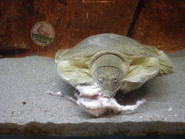 Далекосхідна черепаха - прісноводна рептилія.
