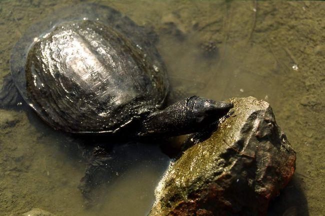 У деяких країнах черепах вважають делікатесом і використовують в кулінарії.
