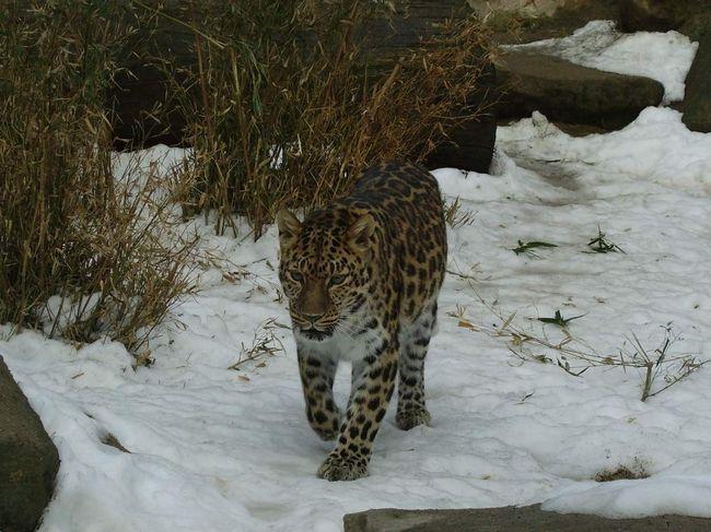 Далекосхідний леопард (Panthera pardus orientalis).