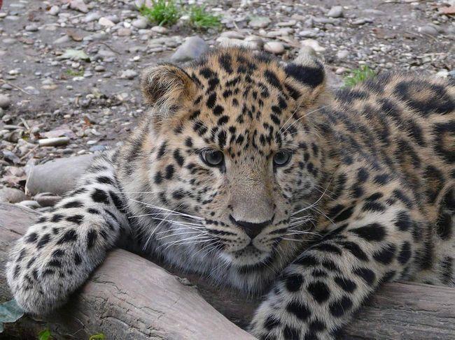 Далекосхідний леопард - зникаюче тварина.