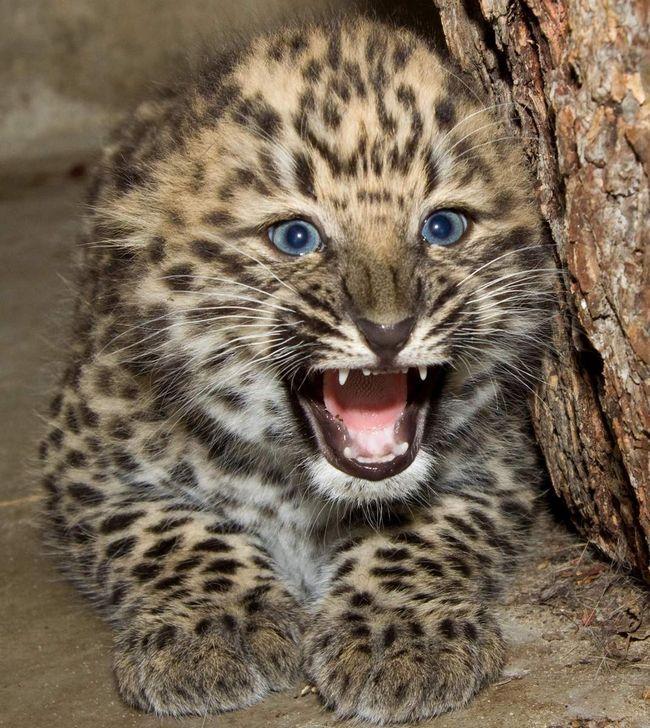 Малюк амурського барса: з таким кошеням не погіршує.