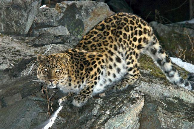 Амурський леопард - жертва браконьєрів.