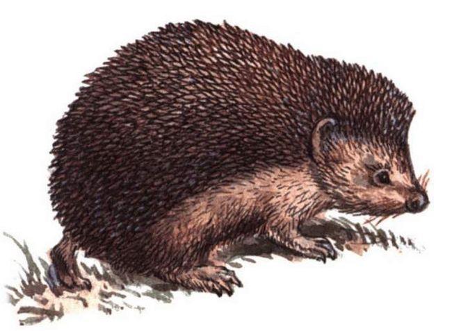 Даурский їжак (Mesechinus dauuricus).