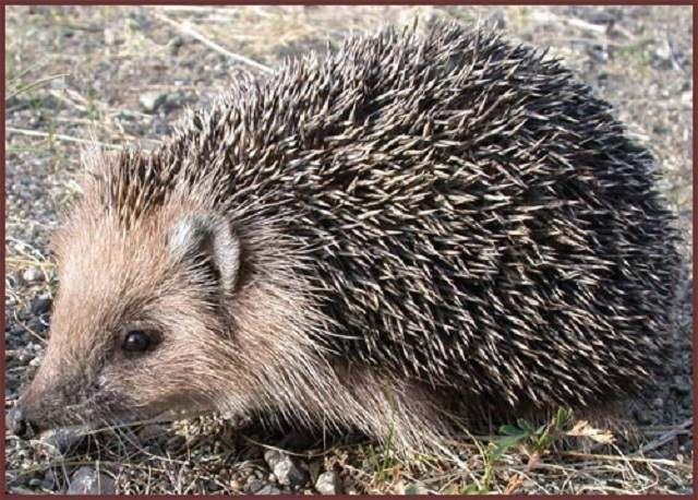 Даурский їжак має невеликі розміри тіла, коротке голки, окрас яких варіює від світло-пісочного до темно-бурого.
