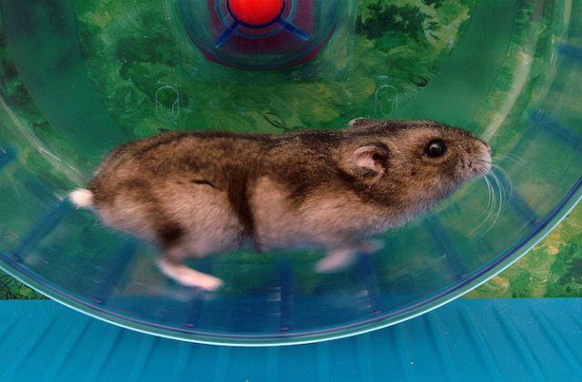 Навіть дикі миші не проти побігати в колесі