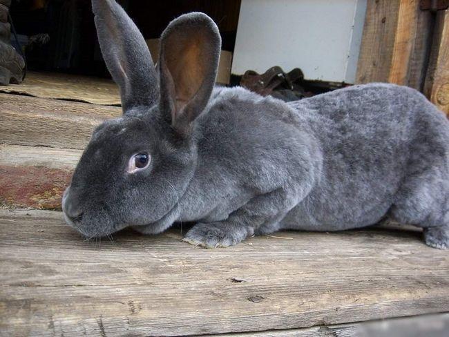 Кролики породи Рекс мають неймовірно м`який і в той же час густе, щільне хутро.