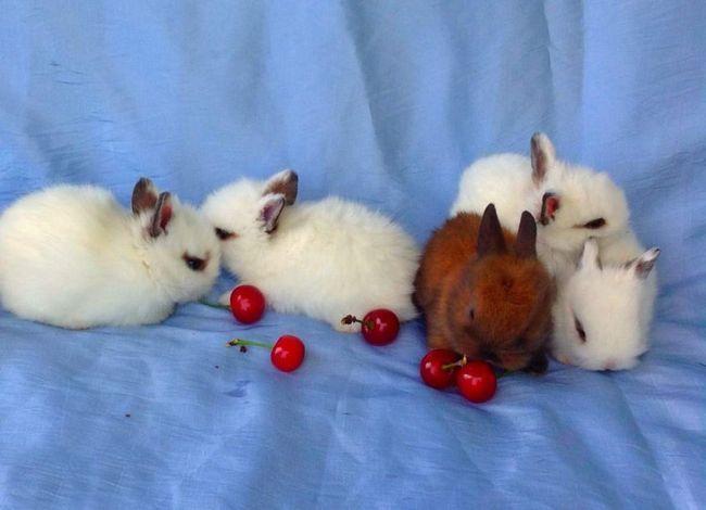 Карликовий регіт - мініатюрна порода кроликів.