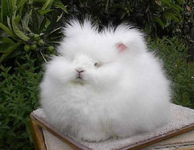 Кролики ангорської породи - неймовірно кумедні, схожі на пухової грудочку.
