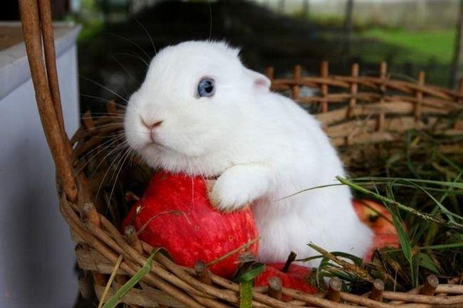 Британські карликові кролики сніжно-білого кольору дуже популярні в якості домашніх улюбленців.