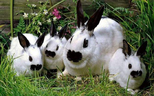 Декоративних кроликів містять в клітках або вольєрах, але періодичні прогулянки просто необхідні маленькому гризуна.