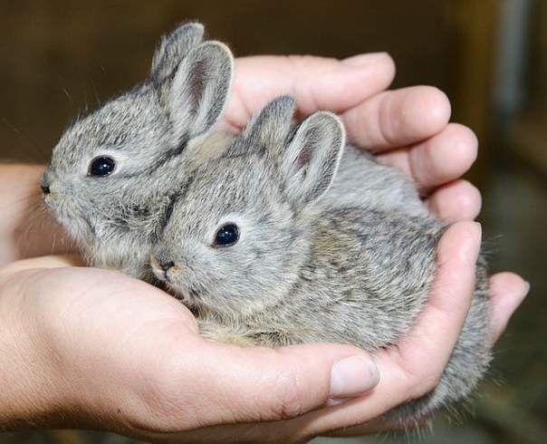 Догляд за житлом декоративних кроликів повинен бути частим, регулярним і ретельним.