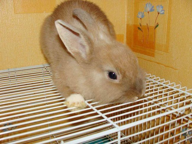 Кролик породи Білка.