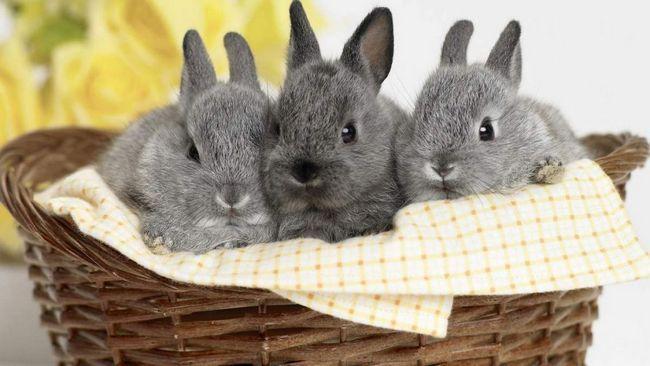 Голландські кролики мають трохи менші розміри тіла, в порівнянні з іншими породами.