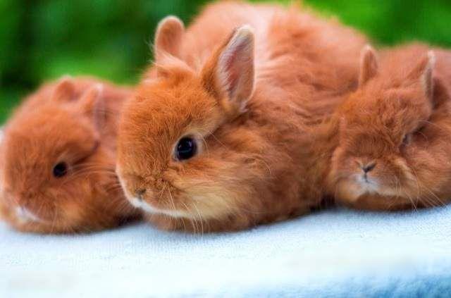 За пушком лисячих карликових кроликом потрібно особливо ретельний догляд.