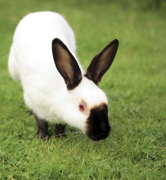 Декоративну породу горностаєвих кроликів також називають гімалайськими кроликами.
