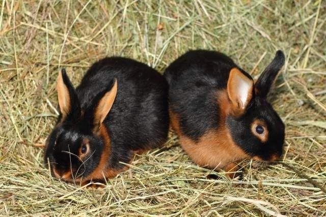 Чорно-вогненні кролики благородних британських кровей.