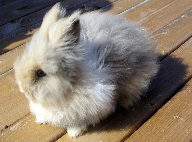 Декоративні породи кролів