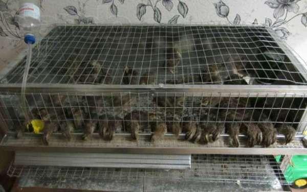 Пташенята перепелів в секції, зробленої своїми руками