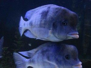 дельфін блакитний