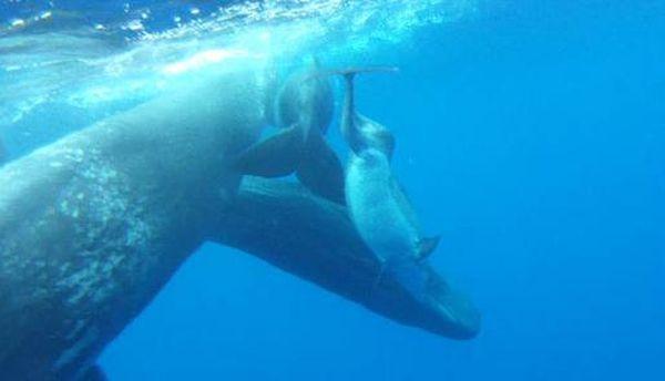 Дельфін-інвалід подружився з кашалота
