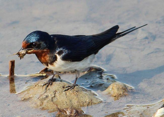 Ластівка - птах стрімкого польоту.