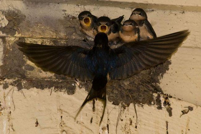 Такі гнізда можна часто побачити під дахом будинку в селі.