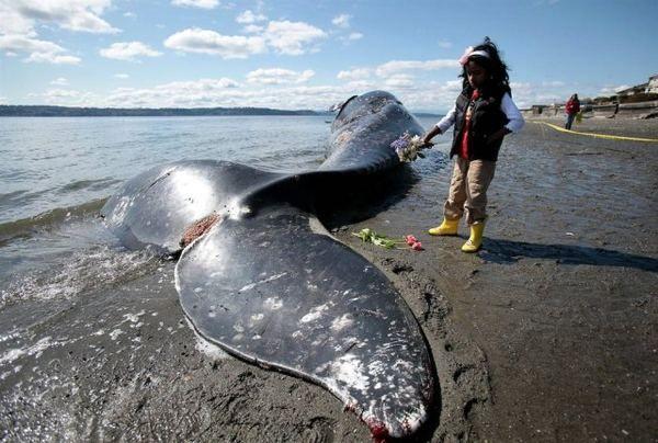 Чому кити здійснюють масове самогубство