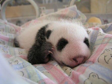 Десять панд відправилися на виставку в Шанхай