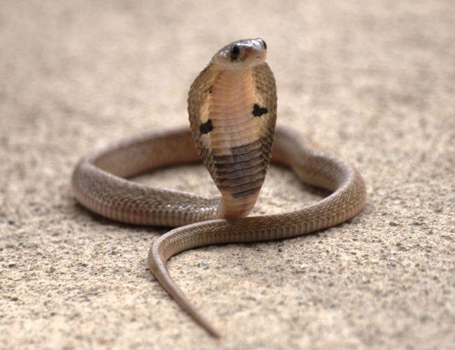 Очкова змія або Індійська кобра