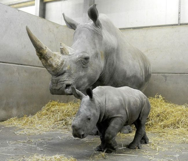 Дитинча білого носорога в Сафарі-парку Ноуслі