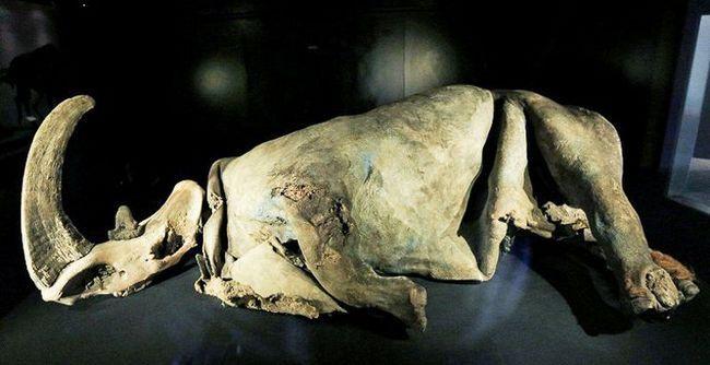 У якутії знайдено єдина в світі мумія дитинча шерстистого носорога