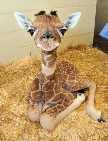 Дитинча жирафа
