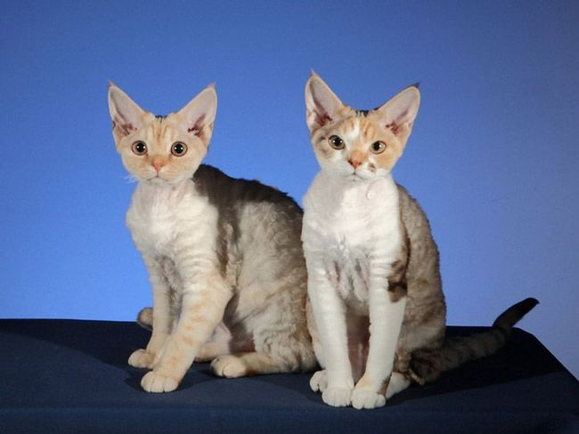 Навіть вібриси у цих кішок кучеряві.