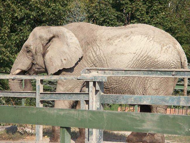Слониха напала на припарковані автомобілі.