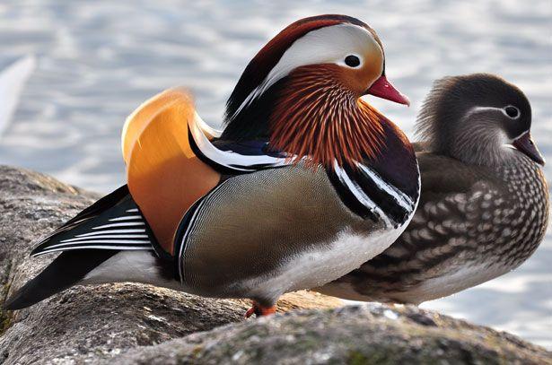 Зліва самець і праворуч самка качки Мандаринки