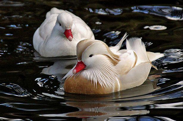 Самка і самець качки Мандаринки білого забарвлення