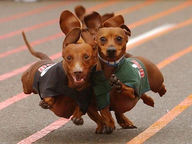 Такси - порода собак з мисливськими навичками.