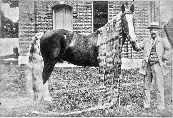 Длінногрівий рекордсмен - кінь Лінус (Linus)