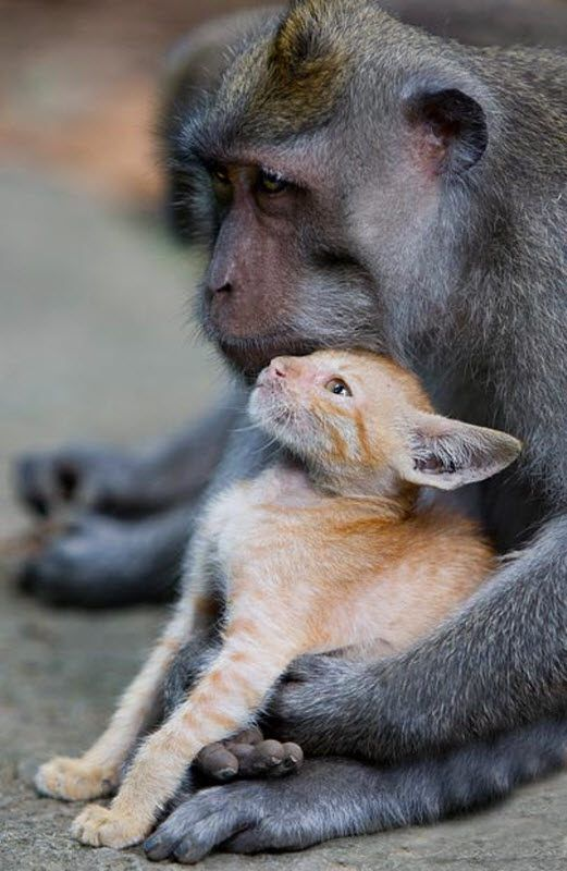 Довгохвоста макака прихистила рудого кошеня