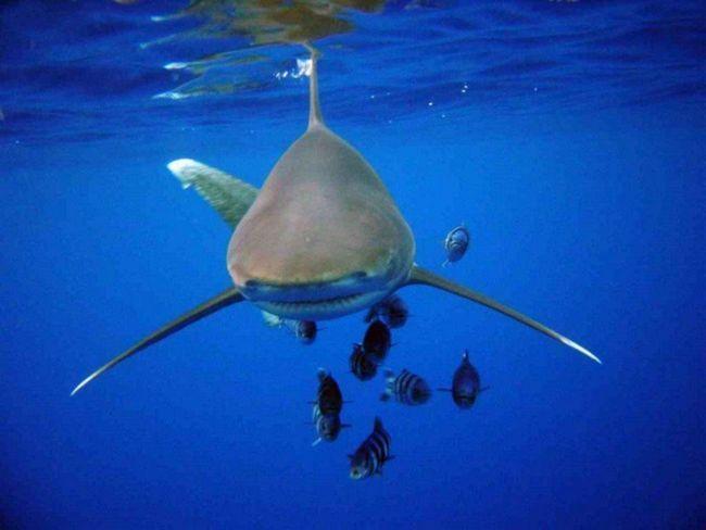 Довгокрила акула (лат. Carcharhinus longimanus)