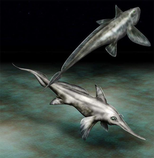 Довгоноса химера майстерно орієнтується на глибині і полює в умовах абсолютної темряви.