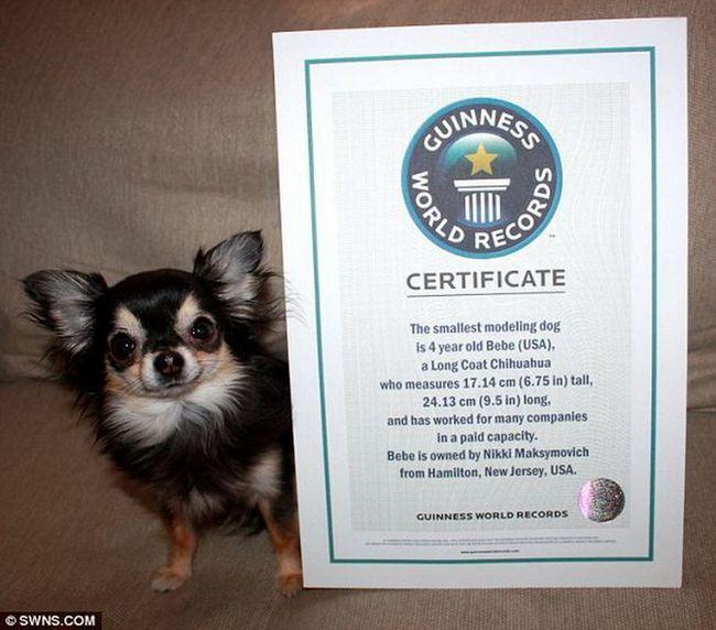 Довгошерста чихуахуа Бібі - найменша собака в світі