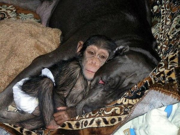 Для маленького шимпанзе мамою стала собака