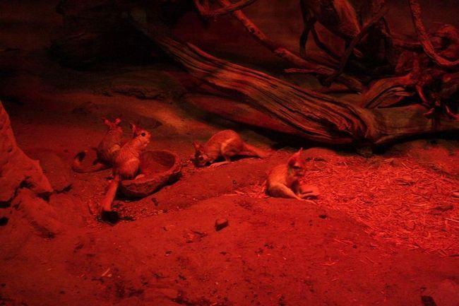 Долгоног, або капский долгоног (лат. Pedetes capensis)