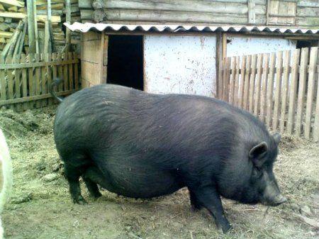 Домашнє розведення в`єтнамських свиней