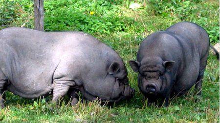 в`єтнамські свині
