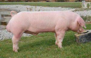 М`ясні свині ростуть досить швидко